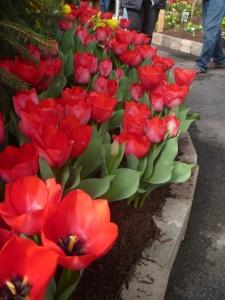 Beautiful red tulips on display.
